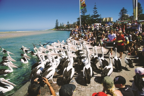 Feeding the Pelicans at The Entrance